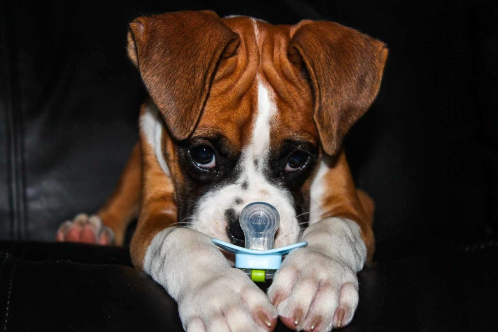 Boxer Blvd  – We sell AKC Registered Boxer Puppies  Meet